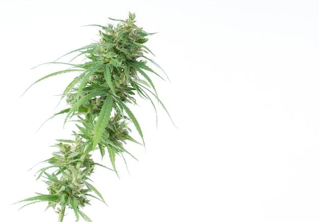 Flor de maconha fresca isolada