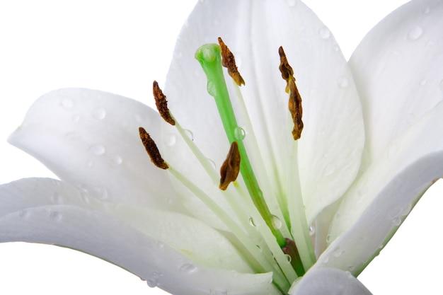 Flor de madonna lírio em branco