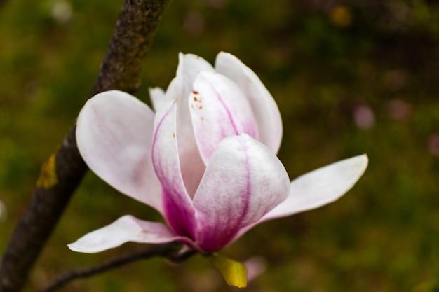 Flor de magnólia em fundo de flores de magnólia embaçada na árvore de magnólia.