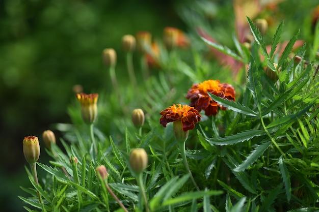 Flor de malmequeres. flores de calêndula mexicana