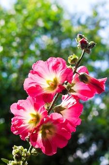 Flor de malva vermelha closeup em árvores turva