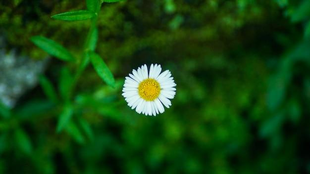 Flor de margarida branca e amarela em western ghats