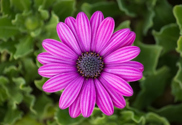 Flor de margarida osteospermum púrpura