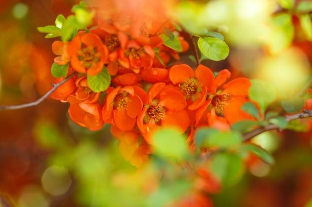 Flor de marmelo vermelho mindinho
