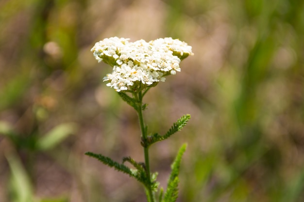Flor de mil-folhas (achillea millefolium). planta medicinal