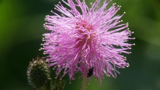 Flor de mimosa pudica