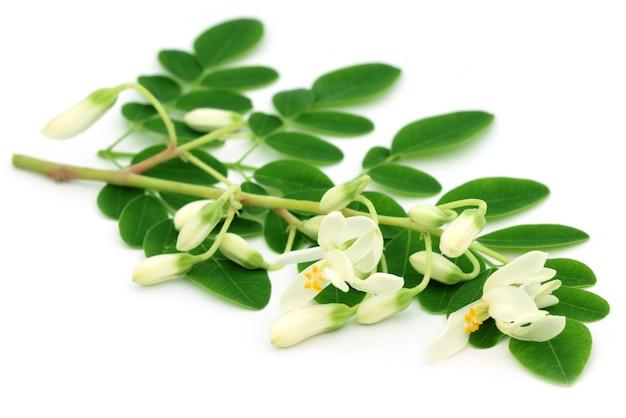 Flor de moringa comestível com folhas sobre fundo branco