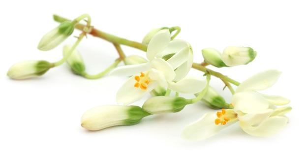 Flor de moringa comestível sobre fundo branco