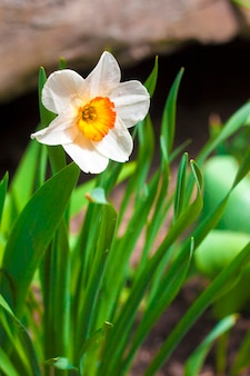 Flor de narciso na primavera
