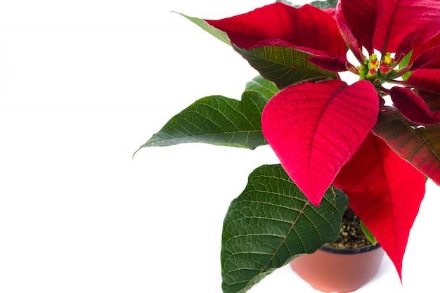 Flor de natal poinsétia isolada no branco