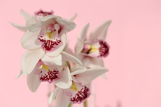 Flor de orquídea. branco com rosa orquídea close-up em um fundo rosa pastel