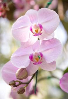 Flor de orquídea de phalaenopsis branca