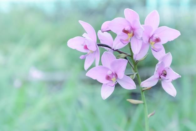 Flor de orquídea dendrobium rosa