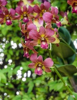 Flor de orquídea dendrobium vermelha no jardim