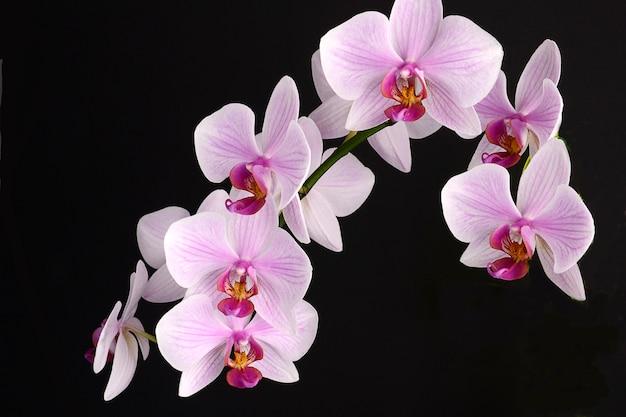 Flor de orquídea em fundo preto. falenopsia rosa