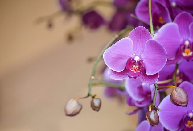 Flor de orquídea phalaenopsis