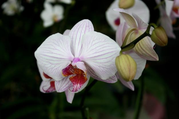 Flor de orquídeas brancas e cor de rosa