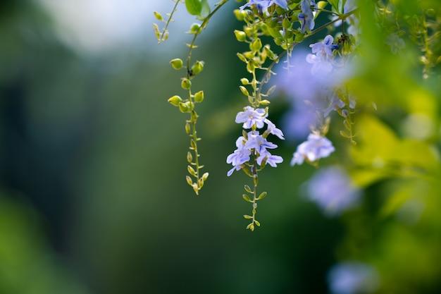 Flor de orvalho dourado para fundo de frescor natural ou primavera e verão conceito fundo