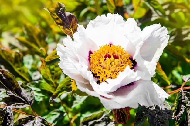 Flor de paeonia suffruticosa, tipo paeonia rockii no jardim