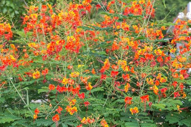 Flor de pavão colorido de beleza