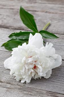 Flor de peônia branca desabrochando no fundo das placas antigas com textura. a planta é macro