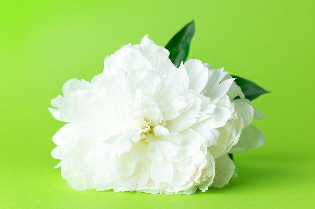 Flor de peônia branca em flor