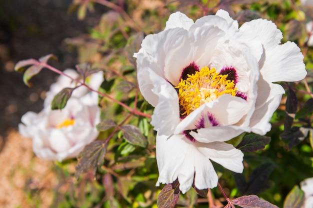 Flor de peônia de árvore branca desabrocha em um arbusto verde no close-up da tarde.