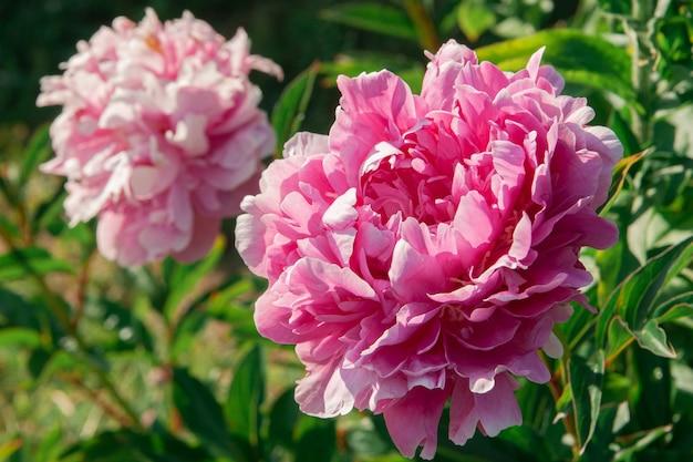 Flor de peônia rosa cresce em um arbusto