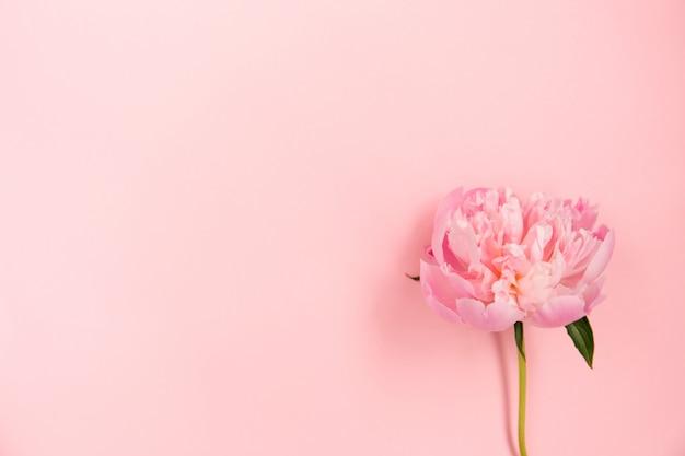 Flor de peônia rosa delicada sobre fundo rosa claro.