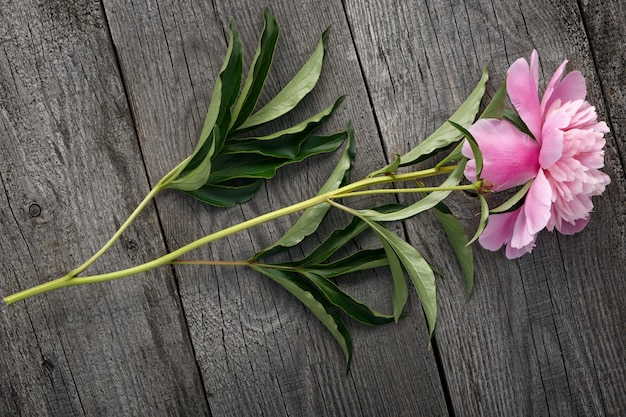 Flor de peônia rosa desabrochando das placas antigas