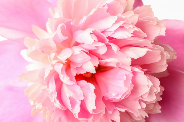 Flor de peônia rosa linda como plano de fundo