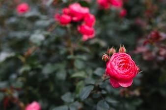 Flor de peônia rosa linda no jardim