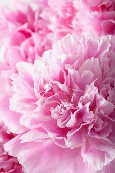 Flor de peônia rosa linda