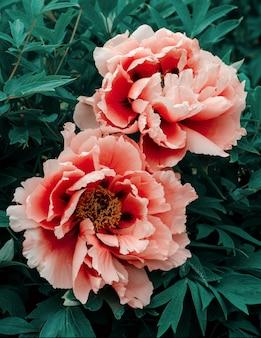 Flor de peônia rosa suave linda crescendo no jardim de verão. peônia de árvore de montanha.