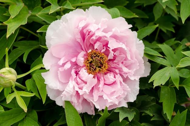 Flor de peônia rosa suave linda crescendo no jardim de verão.