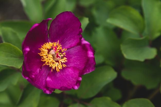 Flor de peônia rosa