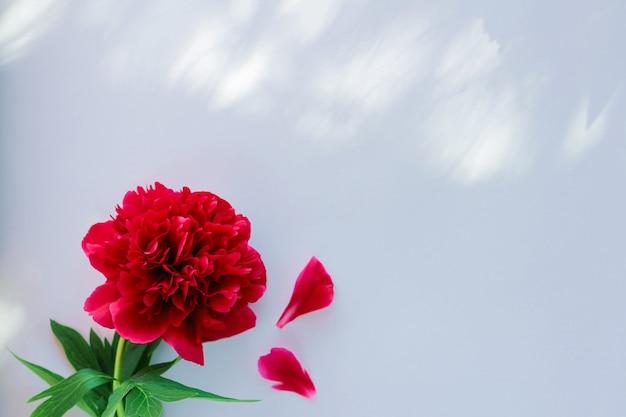 Flor de peônia vermelha em fundo branco