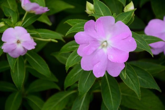Flor de perto linda roxa no jardim