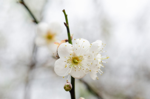 Flor de pêssego branco