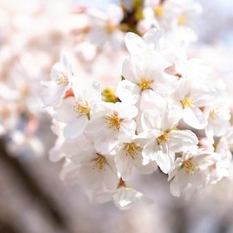 Flor de pessegueiro japonês à luz do dia