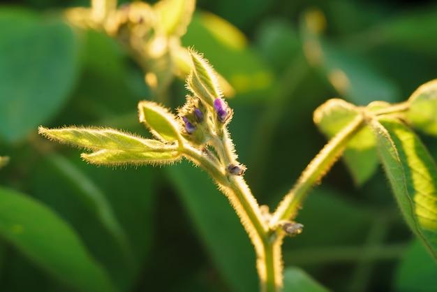 Flor de planta de soja