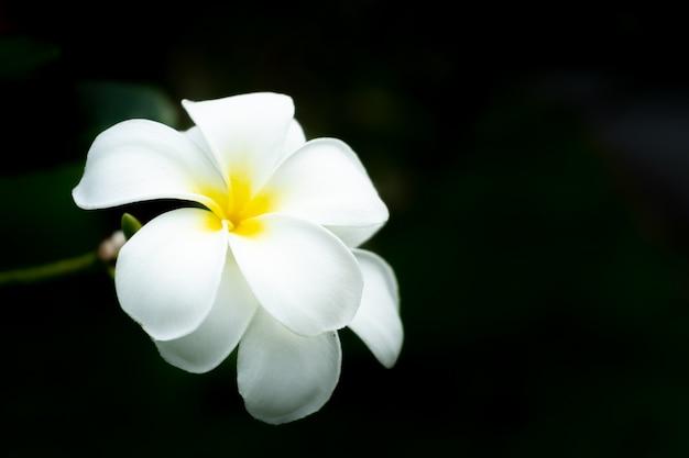 Flor de plumeria