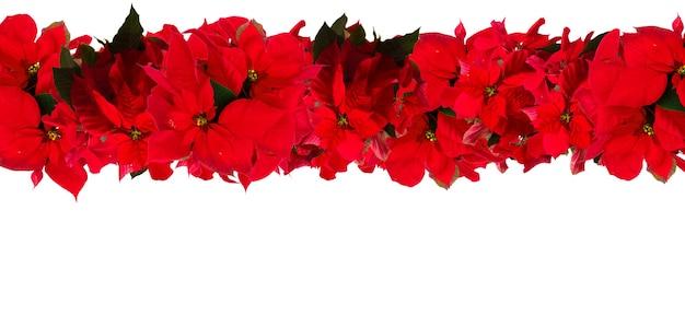 Flor de poinsétia escarlate ou estrela de natal