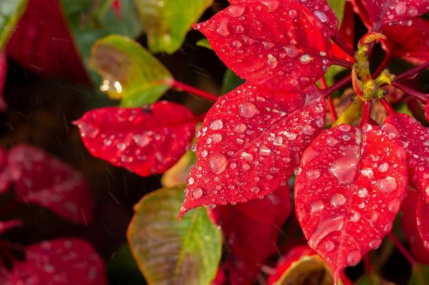 Flor de poinsétia vermelha