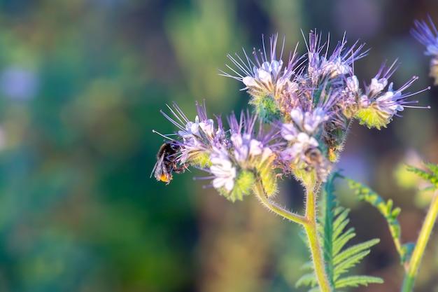 Flor de polinização de abelha. flores silvestres coloridas na luz do sol da noite em contraluz. a natureza da botânica floral Foto Premium