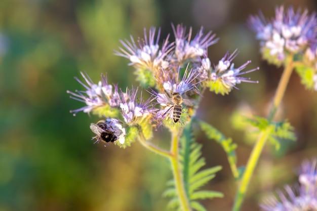 Flor de polinização de abelha. flores silvestres coloridas na luz do sol da noite em contraluz. a natureza da botânica floral