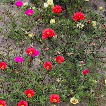 Flor de portulaca no jardim de verão.