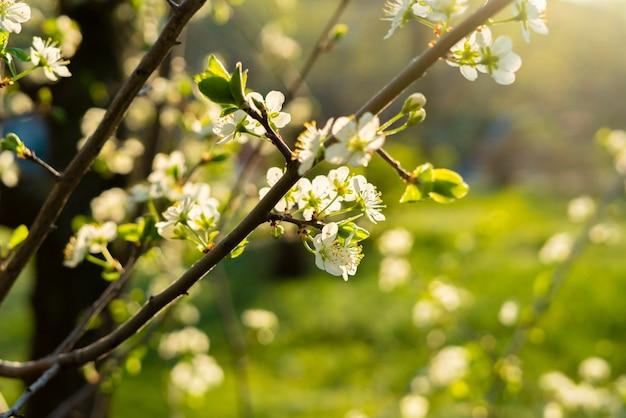 Flor de primavera fresca ou flor da árvore de fruta sob o brilho do sol