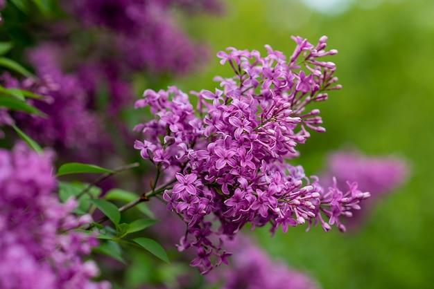 Flor de primavera jardim lilás. árvore floresce no verão. flores roxas