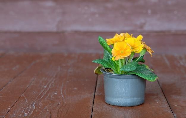 Flor de prímula em um vaso